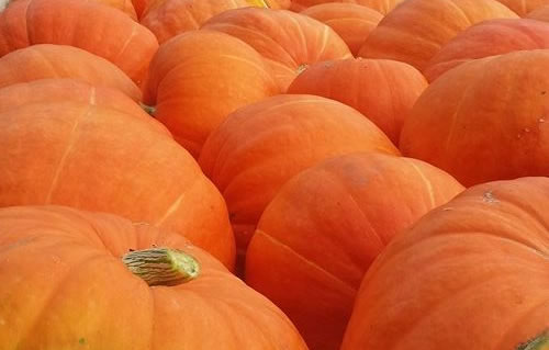 Pumpkins in every variety