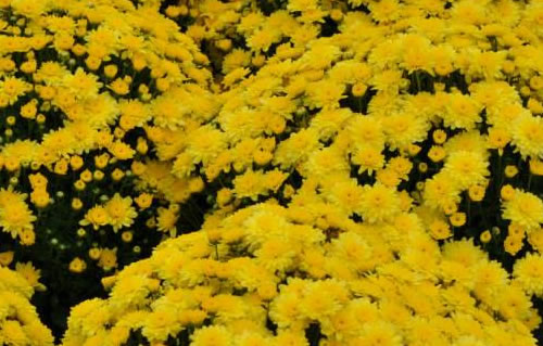 Colorful Mums in the Fall